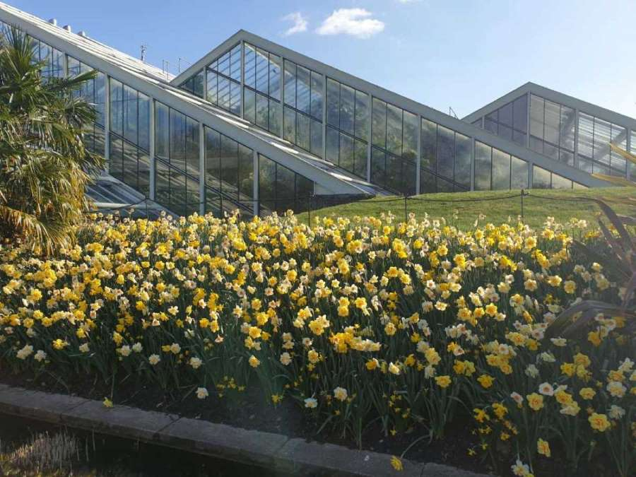 Pyramid glasshouses in Kew Gardens. In front there is a sea of golden daffodils