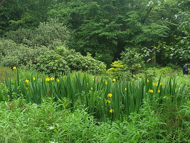 Yellow Irises bordering a pond, Isabella Plantation.