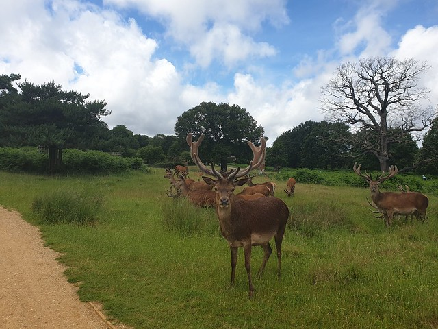 Stag facing me, large antlers, in Richmond Park