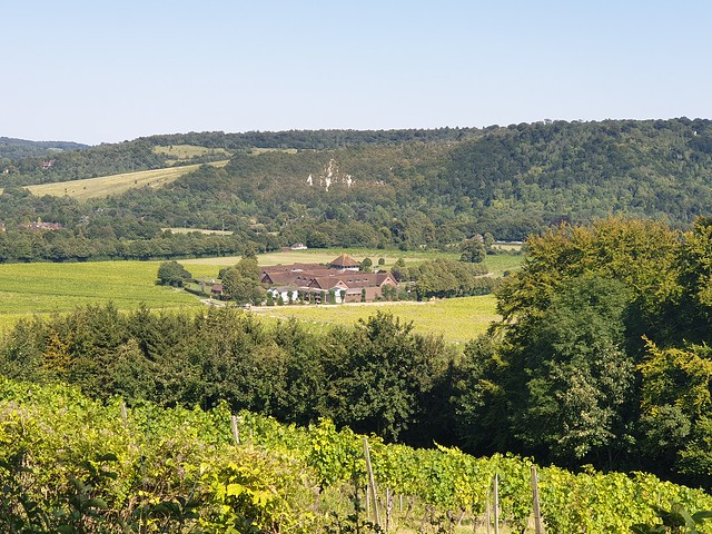 Looking down across the vineyards to Denbies hotel, with the chalk cliffs of Box Hill behind